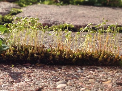 Moss sprouts